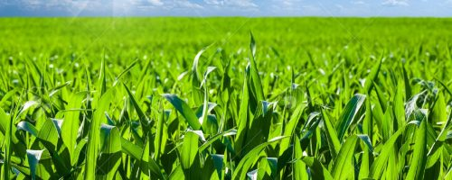 27353358-cornfield-outdoor-sunlight-soil-agriculture-green-spring-earth-cloud-sprout-row-farmland-day-tillage
